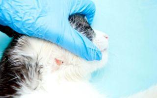 Как и чем лечить лишай у кошки в домашних условиях