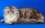 Шотландская вислоухая длинношерстная кошка (хайленд фолд)
