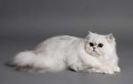 Шиншилла кошка