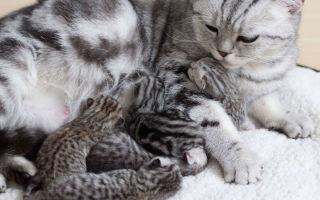Размножение британских кошек: течка, вязка, беременность и роды
