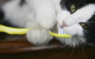 Как почистить зубы коту в домашних условиях
