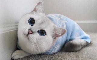 Коби — новая порода кошек или продукт пиара