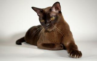 Бурманская кошка (бурма) – эталон прекрасных манер