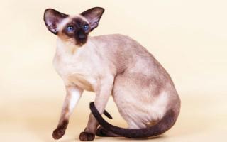 Сиамская порода кошек – голубоглазая восточная дива