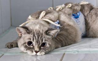 Как лечить мастит у кошки в домашних условиях