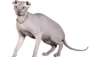 Украинский левкой – лысая вислоухая кошка