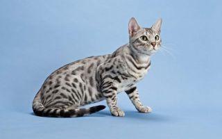 Серенгети – домашняя кошка с хищным характером