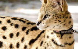 Сервал — кустарниковая кошка, похожая на гепарда