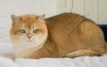 Золотая шиншилла кошка