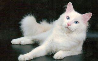 Турецкая ангора (ангорская кошка) — дар турецких шахов