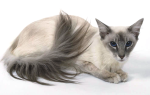 Балинезийская кошка – грация балийских танцовщиц