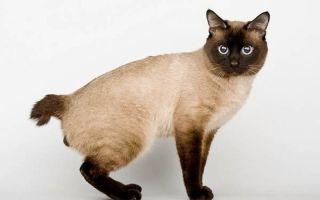 Меконгский бобтейл — кошка с коротким хвостом и сиамским окрасом