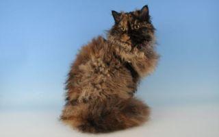 Селкирк-рекс – кудрявая кошка