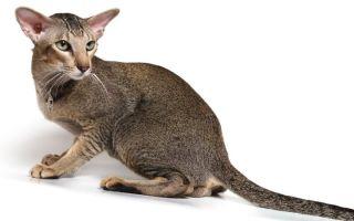 Ориентальная кошка — ушастая восточная дива