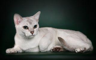 Бурмилла – утонченная кошка с мягким характером