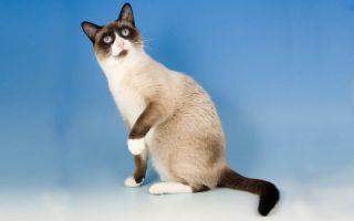 Сноу шу – кошка в снежных туфельках