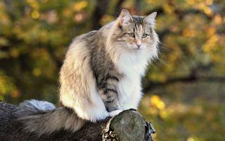Норвежская лесная кошка – нордическая скандинавская порода