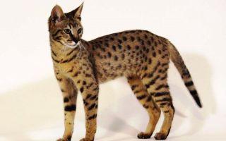 Ашера – новая порода кошек или афера предприимчивых заводчиков