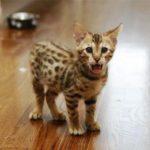 котенок ашера