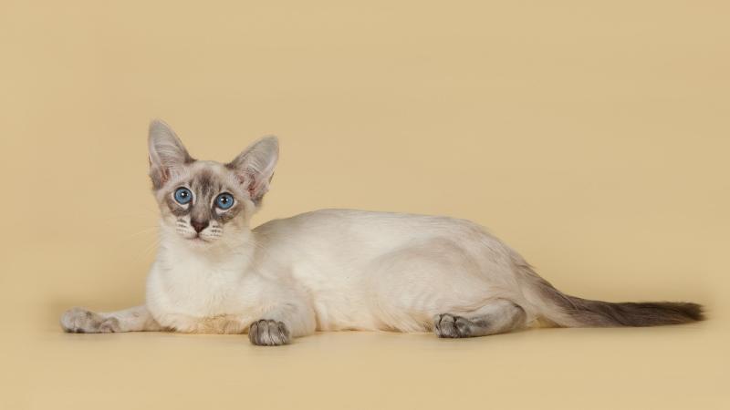балинезийская кошечка