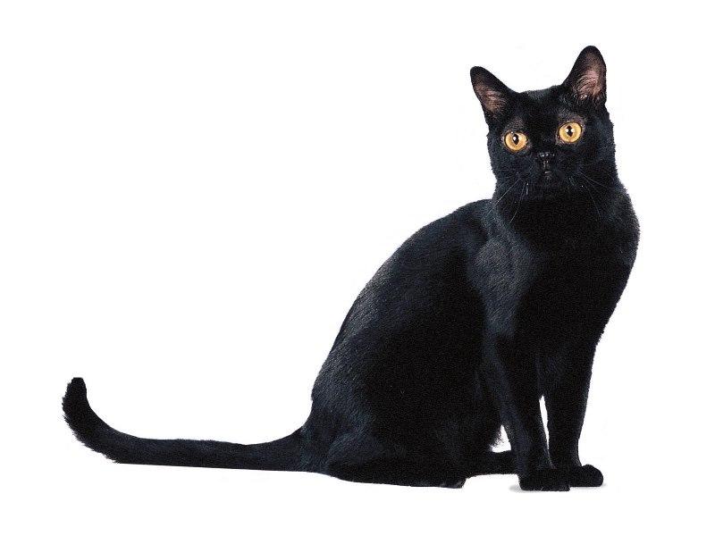 бомбей кошка