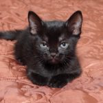 бомбейский котенок