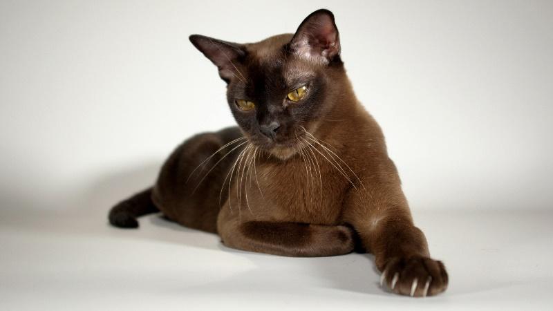 бурманская кошка