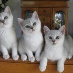 котенок бурмилла