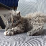 котенок селкирк-рекс