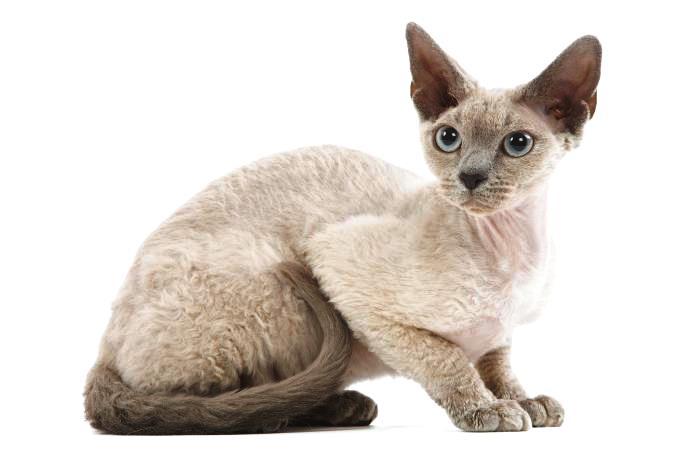 девон рекс порода кошек