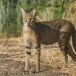 дикий камышовый кот