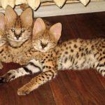 домашние котята сервала