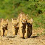 камышовая кошка с котятами