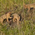 камышовые котята в природе
