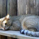 камышовый кот домашний