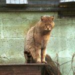 камышовый кот в вольере
