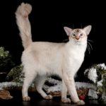 кот балинез