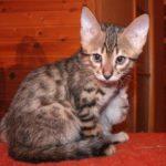 котенок саванны