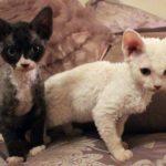 котятки девон