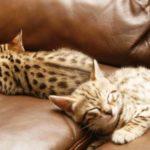 котята ашера