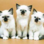 котята бирманских кошек