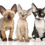 котятки девона