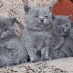 котята нибелунг
