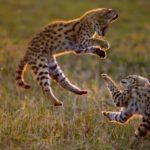 котята сервала играют