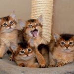 сомалийские котята