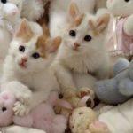 котенок турецкого вана