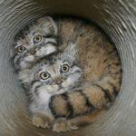 котенок манула