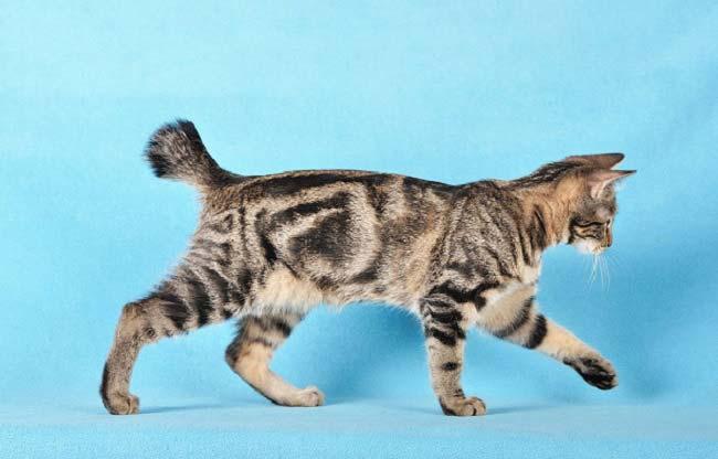 курильский бобтейл котенок полосатый