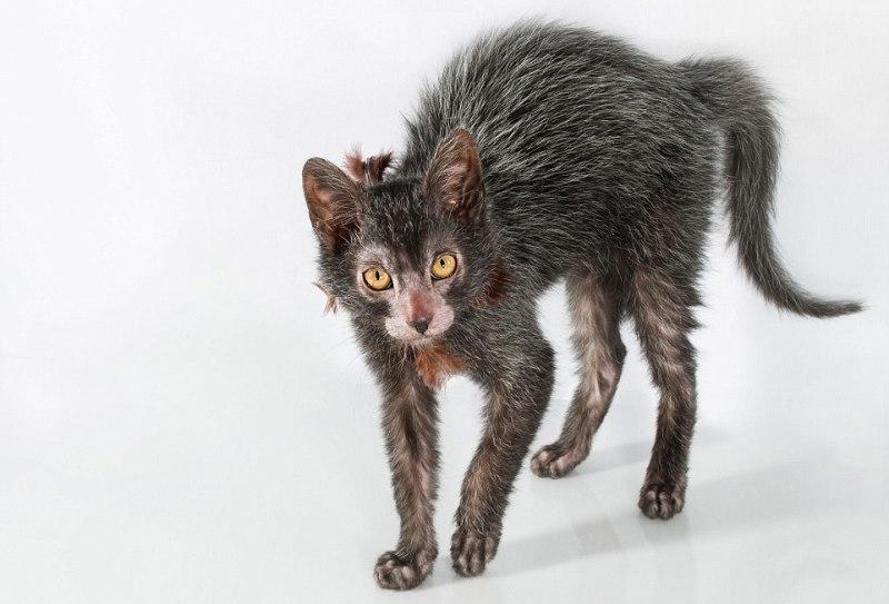 ликой кошка
