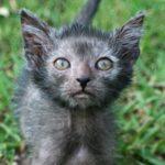 котенок ликой